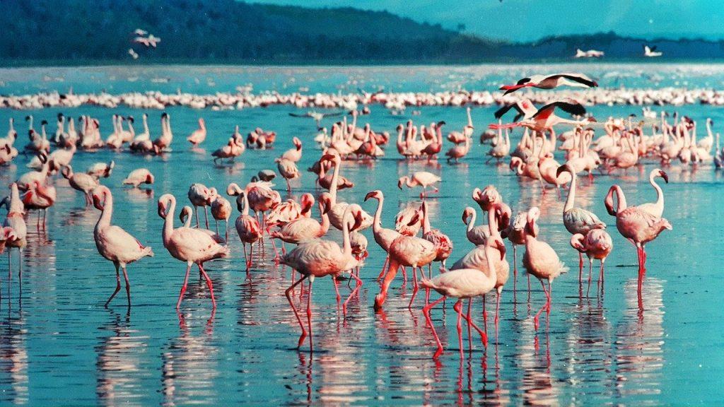 pink flamingo, lake nakuru, kenya-1484781.jpg